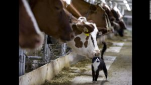 Kuh, die beim Melken an einer Katze schnüffelt