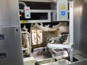 Schwarz-weiße Holsteiner stehen im Milchbetrieb in einem Melkroboter